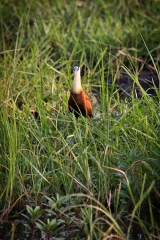 <h5>African Jacana</h5><p>African jacanas are waders in the family Jacanidae, identifiable by long toes and long claws that enable them to walk on floating vegetation in shallow lakes, their preferred habitat.</p>