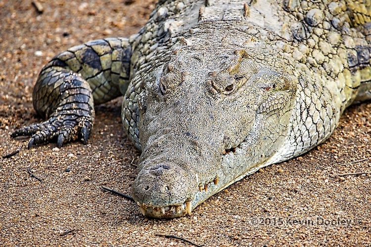 The Nile Crocodile African Safaris