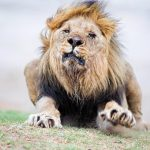 African Lion Photography
