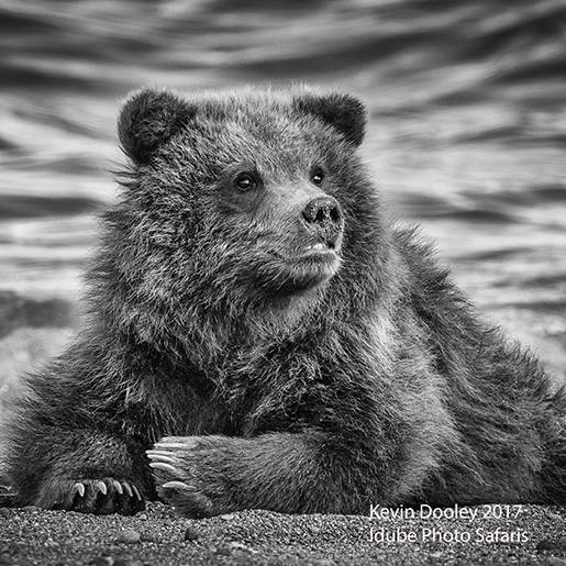 Brown Bear Photography