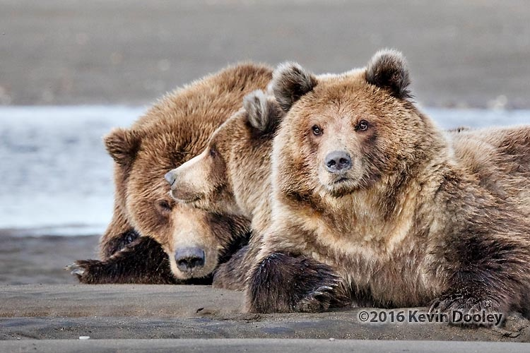 Alaskan Brown Bear Photo Safari Sigma 150-600 Video