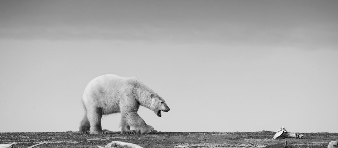 Polar Bear photography Workshop