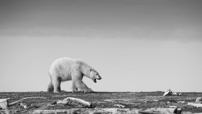 Polar Bear photography Workshop