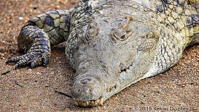 The Nile Crocodile African Safaris
