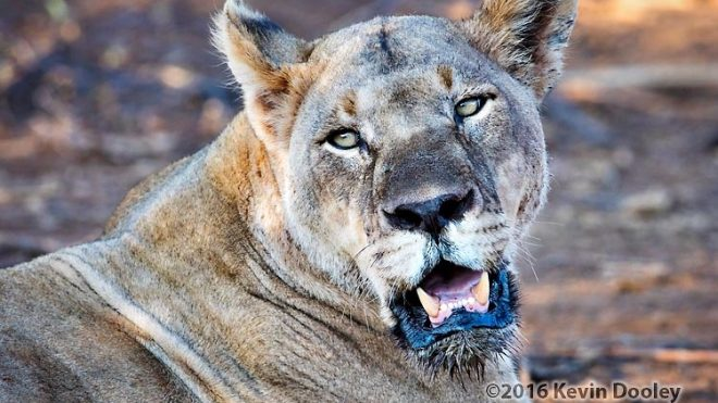 Safari Photography, The African Lion