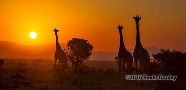 Idube sets new record in filling a safari.