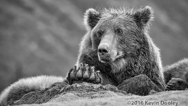 ThinkTank rain Gear rocks Alaskan Brown Bears