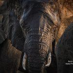 African Safaris Elephants