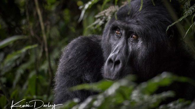 Gorilla Trekking in Bwindi Unganda