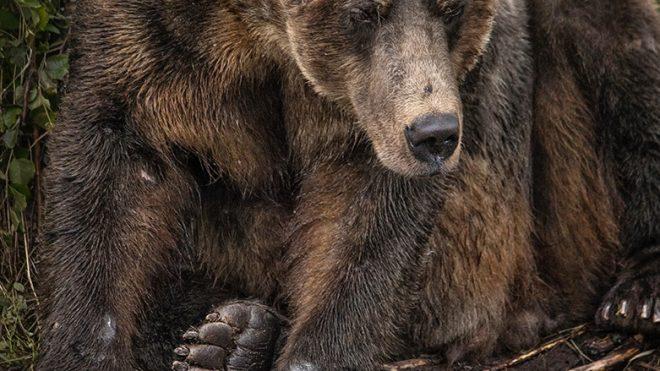 Alaska Bear Photography