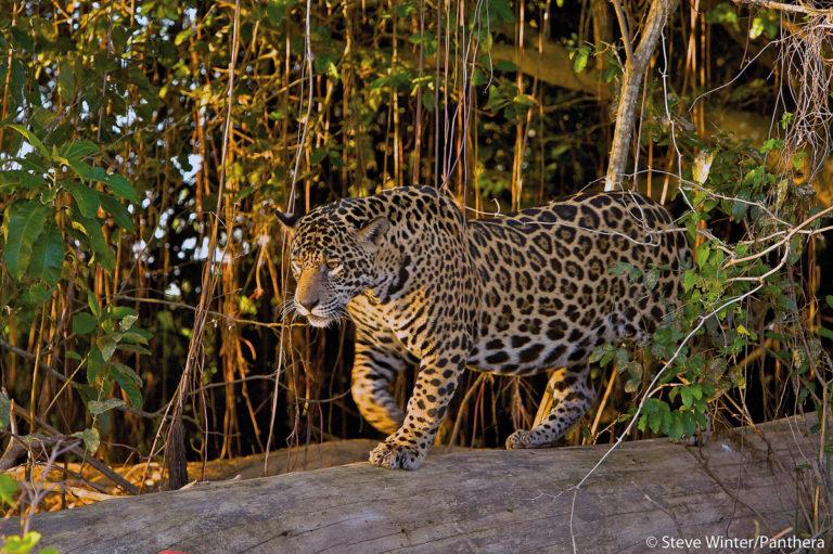 Jaguars, Pantanal Brazil